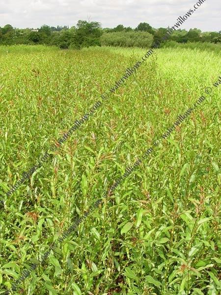 w15-black-maul-willow-cuttings