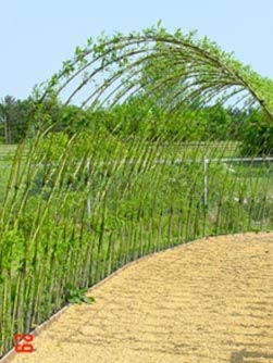 living-willow-tunnel