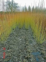 w18-noir-de-villaines-willow-cuttings