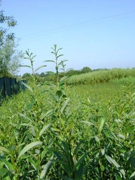 w19-white-spaniards-willow-cuttings