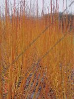 w7-helens-yellow-willow-cuttings