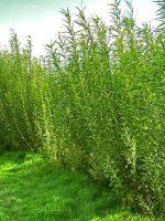 Hedges & Windbreaks